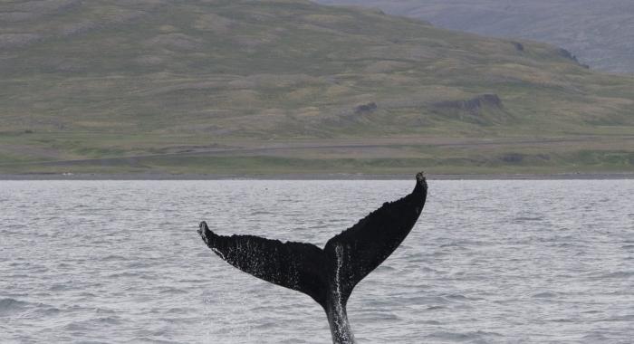 140718 humpback lob tail