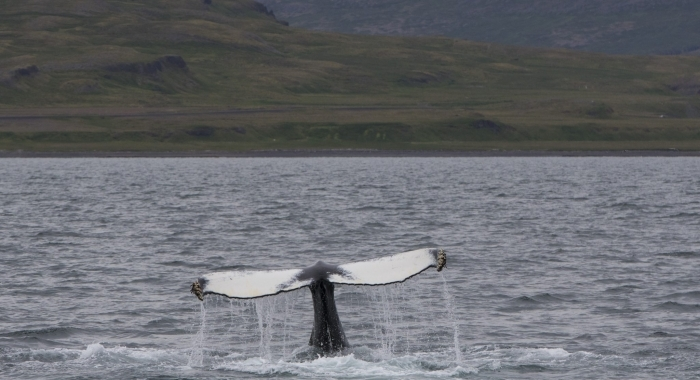 140718 humpback lobtail