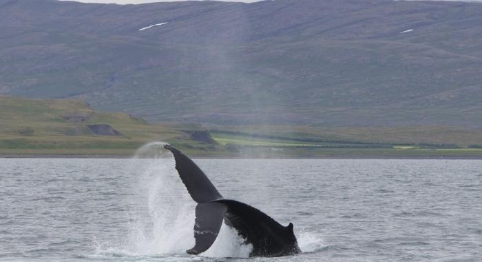 140718 humpback tail breach