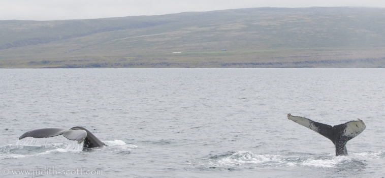Lots of whales out in Steingrímsfjörður at the moment!