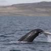140818 humpback tail