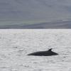 140818 minke whale