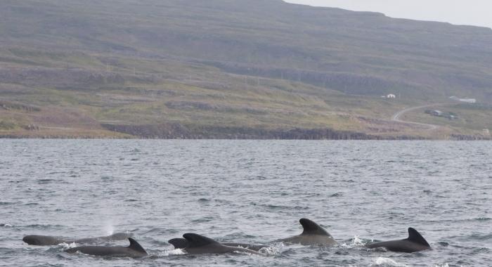 140818 pilot whales