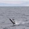 140918 jumping whitebeaked dolphin