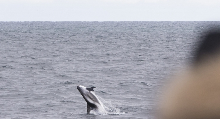 140918 leaping whitebeaked dolphin