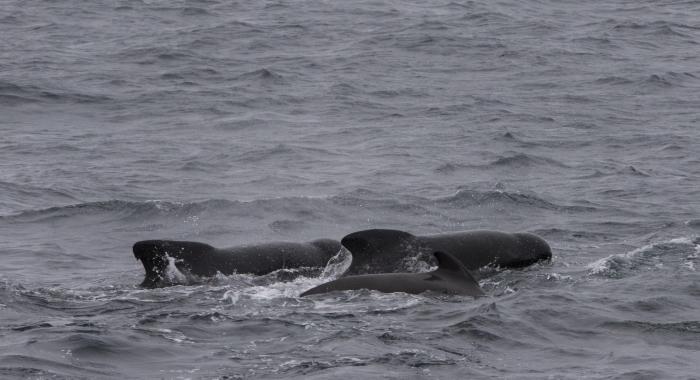 140918 pilot whales