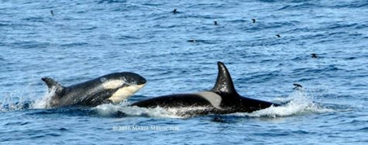 Last tour of our season, humpbacks, dolphins and ORCA!