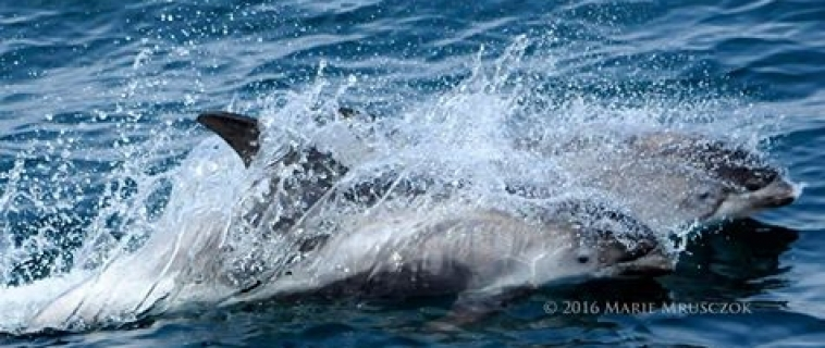 A pod of white-beaked dolphins