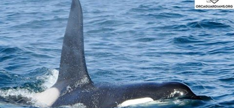 Orcas and Minke whales