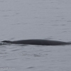 150718 close MInke whale