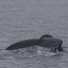 150718 humpback fluke 2