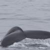 150718 humpback fluke 3