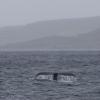 150718 humpback fluke in landscape