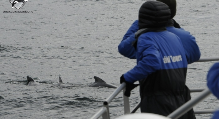 1508 close pilot whales Olafsvik