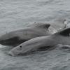 1508 close pilot whales