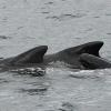1508 pilot whale calf