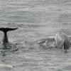 1508 pilot whale tail