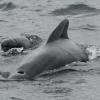1508 pilot whale with calf