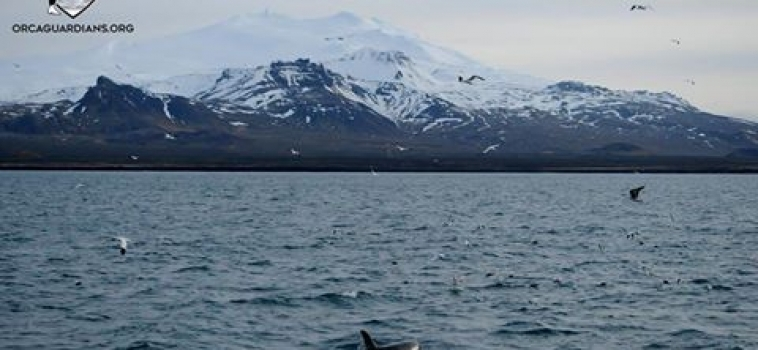 Orcas, Dolphins and Sperm Whales
