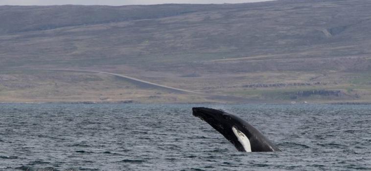Humpbacks breaching !