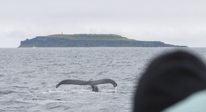 160718 close humpback fluke with Grimsey