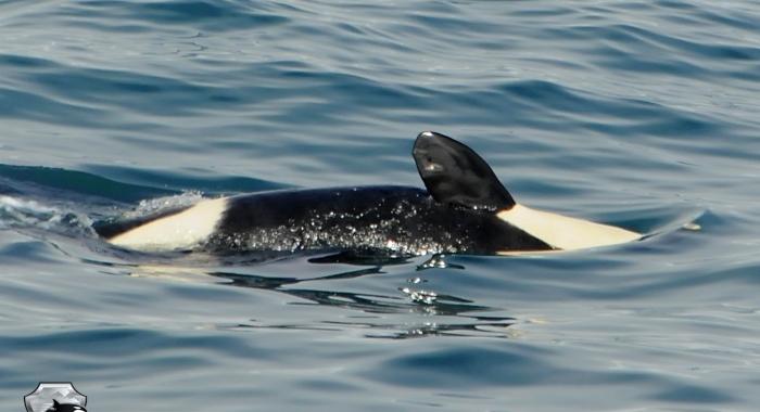 160718 close orca calf