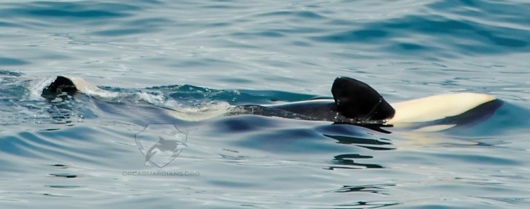 Fabulous behaviour in Ólafsvík and rare whales in Hólmavík !