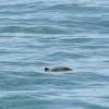 160718 harbour porpoise