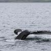 160718 humpback fluke