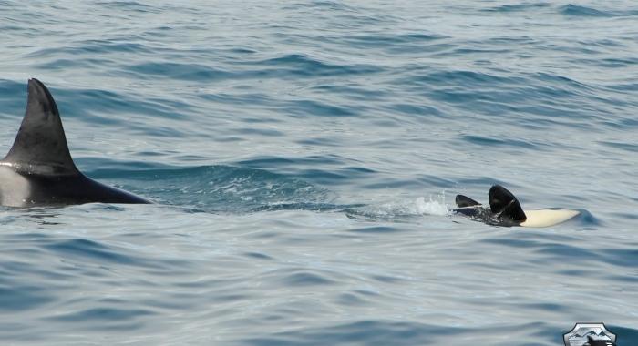 160718 orca calf upside down