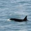 160718 orca