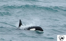 We spotted a group of killer whales !