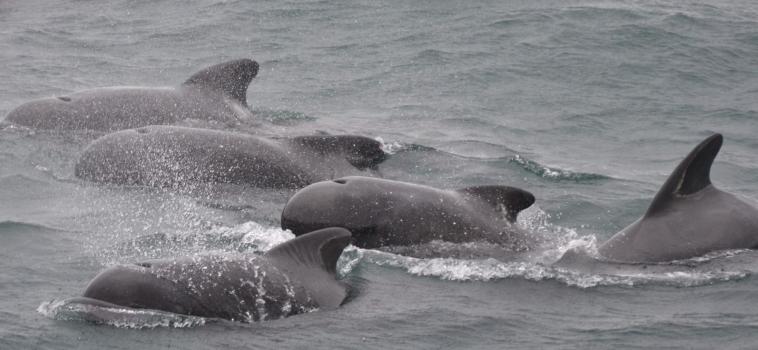Pilot whales are back in Ólafsvík while the humpbacks remain in Hólmavík