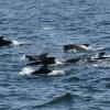 1808 pilot whale group Olafsvik