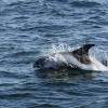 1808 whitebeaked dolphin