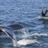 180818 2 humpbacks fluking