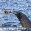 180818 2 humpbacktail ith barnacles