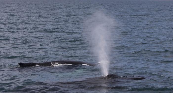180818 humpback blow
