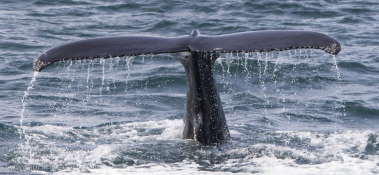 Orcas and sperm whales in Snæfellsnes and humpbacks in the Westfjords