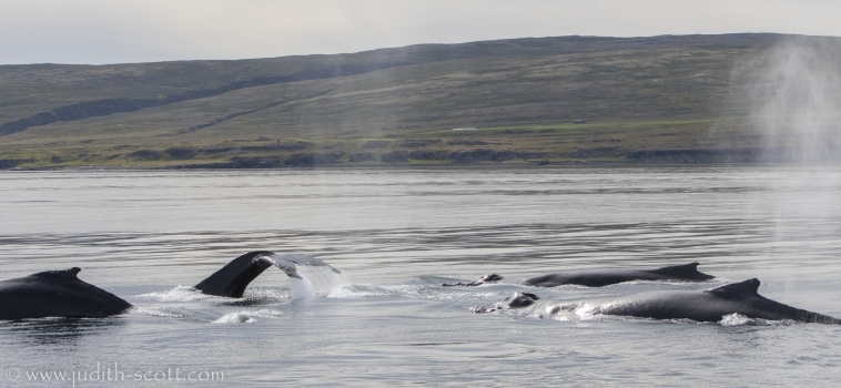 19/08/2018 Holmavik humpbacks abound