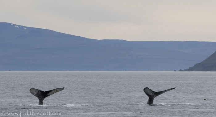 190818 humpback double fluke