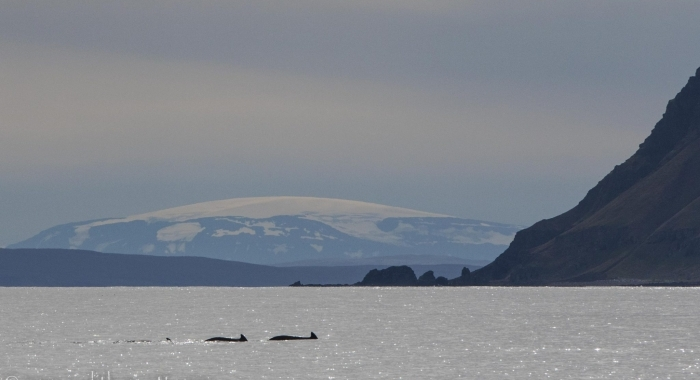 pilot whales and glacier snaefellsjokull