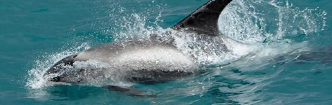 Pod of pilot whales