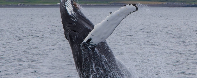 Spectacular show of humpbacks!