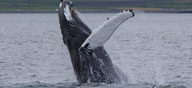 Spectacular show of humpbacks!