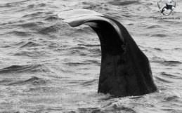 Minke whales and sperm whales