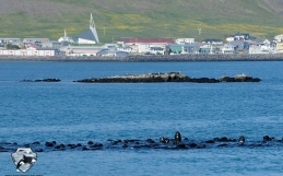 Large group of pilot whales