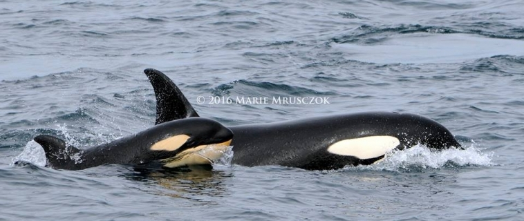 Two groups of orcas and Minke