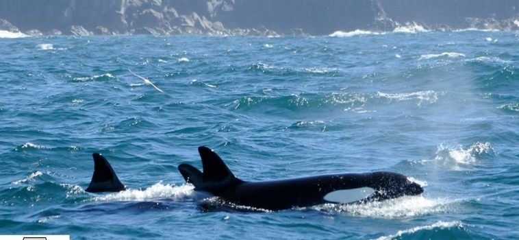 5 orcas  & three small groups of white-beaked dolphins