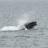 2107 humpback lunging (1)